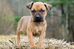 Hund för Fawn Boxer blandad avelvalp Arkivfoton