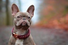 Hund för fransk bulldogg för härlig sällsynt kulör lila strimmig kvinnlig med ljust - bärnstensfärgade ögon och paracordkrage royaltyfri foto