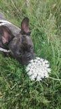 Hund för fransk bulldogg på en bakgrund av grönt gräs som luktar vita vildblommor Royaltyfri Fotografi
