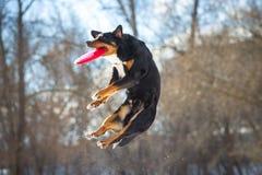 Hund för FrisbeeAppenzeller berg med den röda flygskivan Arkivbilder