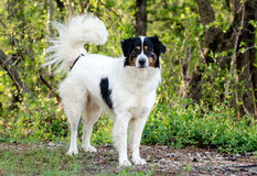 Hund för gränsCollie Australian Shepherd blandad avel arkivfoton