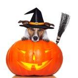 Hund för Halloween pumpahäxa Arkivbild