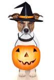 Hund för Halloween pumpahäxa Arkivfoton