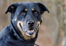 Hund för herdeRottweiler blandad avel Royaltyfri Fotografi