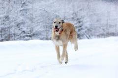 Hund för irländsk varghund Arkivfoto