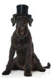 Hund för jätte- Schnauzer arkivfoton
