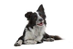 hund för kantcollie arkivbild
