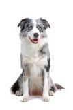 hund för kantcollie arkivbilder