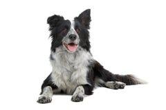 hund för kantcollie Arkivfoto