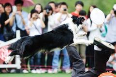 hund för kantcollie royaltyfria bilder