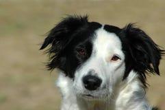 hund för kantcollie arkivfoton