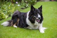 Hund för kantcollie Fotografering för Bildbyråer