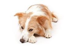 hund för kantcollie som lägger ner arkivbild