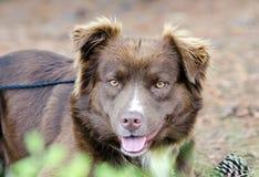 Hund för nötkreatur för avel för australisk herde för choklad blandad Arkivfoto