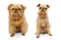 Hund för och efter frisyr royaltyfri foto