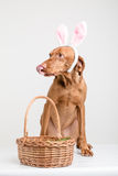 Hund för påskkanin med korgen Royaltyfri Foto