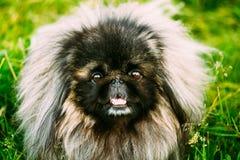 Hund för pekinespekinespekines som vilar på gräs Arkivfoton