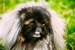 Hund för pekinespekinespekines som vilar på gräs Royaltyfri Fotografi