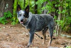 Hund för Queensland blåttHeeler nötkreatur fotografering för bildbyråer