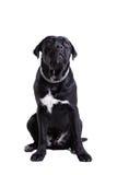 Hund för rottingCorso purebred arkivfoton