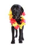 Hund för rottingCorso purebred arkivbilder
