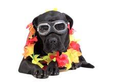 Hund för rottingCorso purebred arkivbild