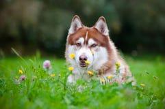 Hund för Siberian husky utomhus arkivbild