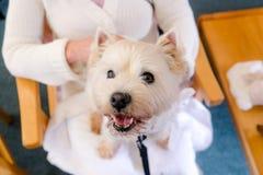 Hund för terapi för westie för vit terrier för västra högland på varv av vuxen människa p fotografering för bildbyråer