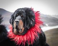 Hund för tibetan mastiff, Tibet arkivfoton