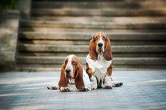 Hund för två Basset Royaltyfria Bilder