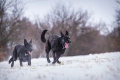 Hund för tysk herde Arkivbilder