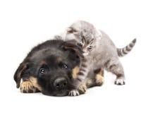 Hund för tysk herde för valp och en katt. Fotografering för Bildbyråer