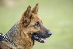 Hund för tysk herde, hundshow arkivfoton