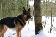 Hund för tysk herde i vinterskog Royaltyfri Bild