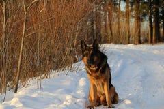 Hund för tysk herde i vinterskog Arkivbild