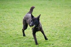 Hund för tysk herde med tennisbollen i mun Arkivfoton