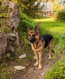 Hund för tysk herde på gatan royaltyfri fotografi