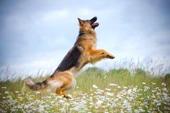 Hund för tysk herde som hoppar upp Royaltyfri Foto