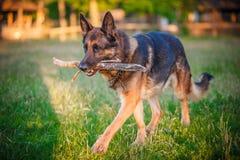 Hund för tysk herde som ligger i höstskogen Royaltyfri Bild