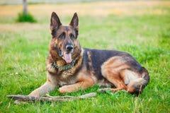 Hund för tysk herde som ligger i höstskogen Arkivfoto