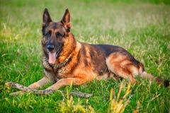 Hund för tysk herde som ligger i höstskogen Fotografering för Bildbyråer
