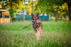 Hund för tysk herde som ner utomhus ligger Arkivbilder