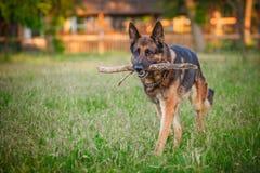 Hund för tysk herde som ner utomhus ligger Arkivbild