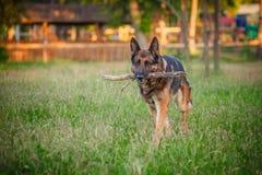 Hund för tysk herde som ner utomhus ligger Royaltyfri Foto
