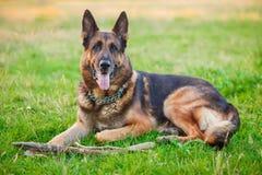 Hund för tysk herde som ner utomhus ligger Royaltyfri Fotografi
