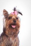 Hund för valp för Yorkshire terrier som ser upp med den öppna munnen Royaltyfria Bilder