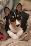Hund för valpBasenji jakt Royaltyfria Bilder