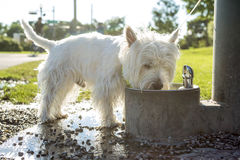 Hund för vit terrier för västra högland på koppeln Fotografering för Bildbyråer