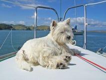 Hund för westie för vit terrier för västra högland på pilbåge av segelbåten royaltyfria foton