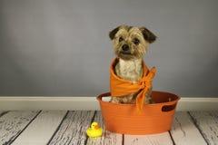 Hund för Yorkshire terrier i ett badkar med ett ducky gummi Arkivbild